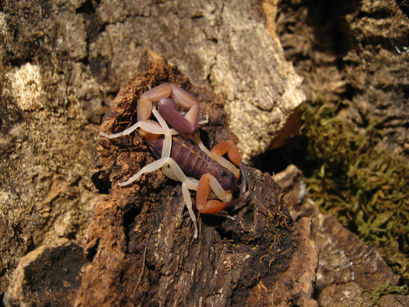 Johnny's scorpion breeding Adult5q5j5g