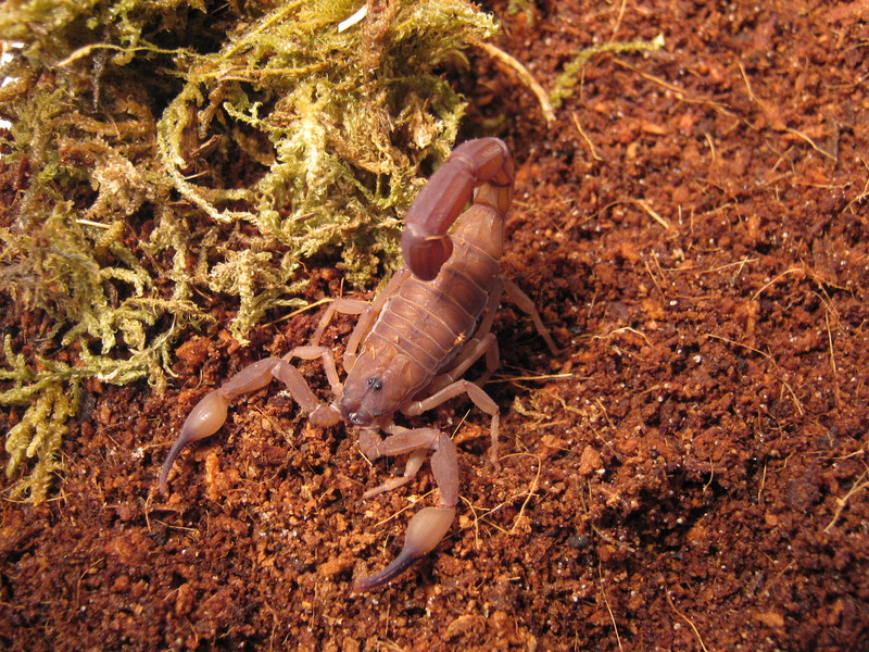 Johnny's scorpion breeding Img_0311cnksn