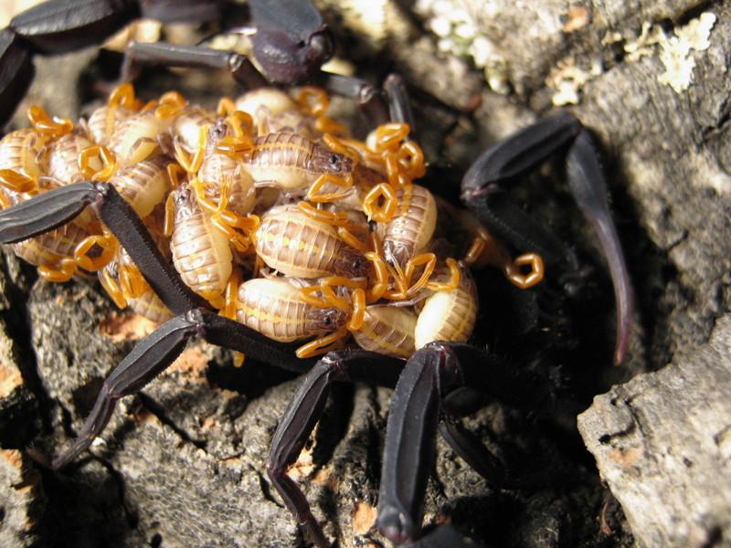Johnny's scorpion breeding Img_27312ud1f