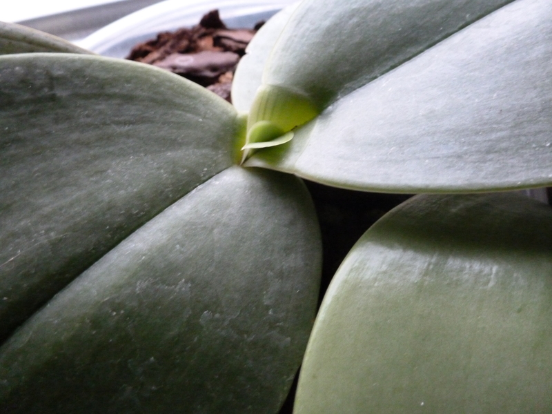 Phalaenopsis gigantea P10003291ra7q