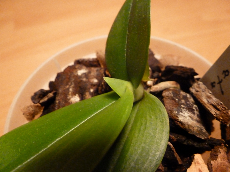 Phalaenopsis maculata P1000332jkoei