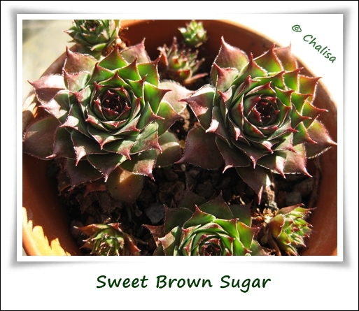 Chalisa's Semps-Collection Sweet_brown_sugar_01_lrkay