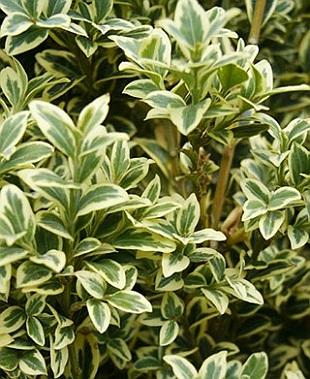 buxus sempervirens aureovariegata 4633-buxus-sempervirens-aureovariegata