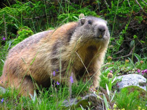 un animal par blucat (11 juillet) trouvé par ajonc Marmotte-4645f