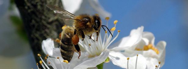 Les abeilles, témoins du bon état de notre environnement, disparaissent massivement 17543_une