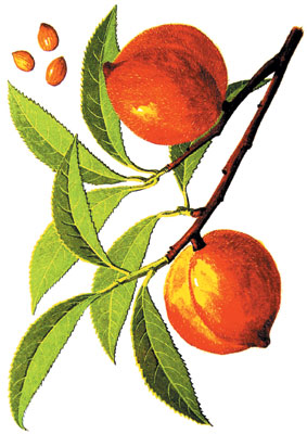 Fleurs,....fruit,.....tout ce qui se mange,...se boit....ou qui vient de la nature.......... - Page 4 Apricot