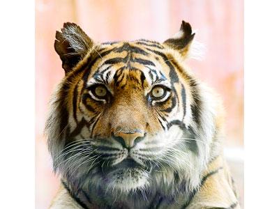 Tigrovi Tiger002