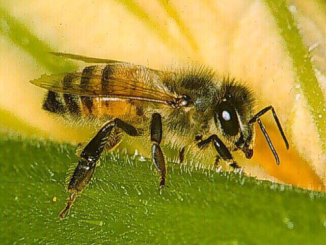 Bees in the Garden Honeybee