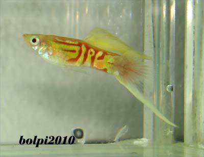 Varietà guppy show - Spada inferiore Ewblond-lineb-a1