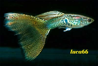 Varietà guppy show - Snakeskin Coda a Triangolo Snakecodatriangolo1