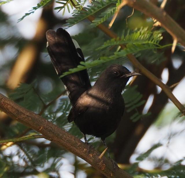 Oiseau Martine 13 janvier - bravo Martin 2171478754326