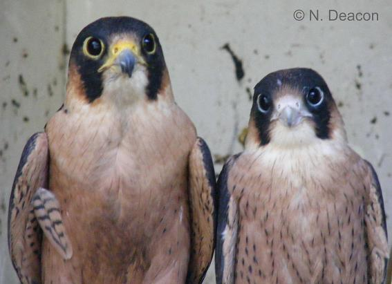Falconiformes. sub Falconidae - sub fam Falconinae - gênero Falco Taitaprefledging