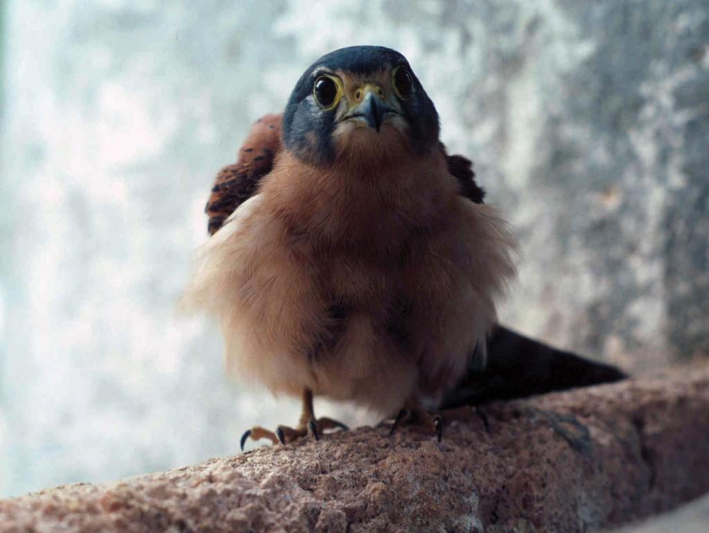 Falconiformes. sub Falconidae - sub fam Falconinae - gênero Falco Kestrelchick-jeff-watson-1024x770