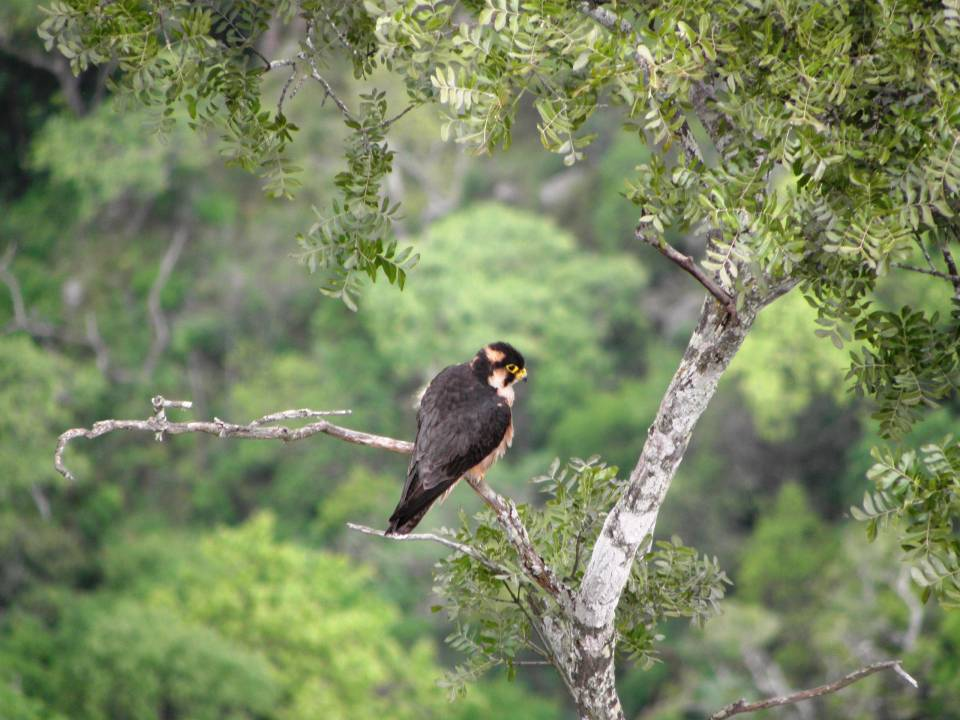 Falconiformes. sub Falconidae - sub fam Falconinae - gênero Falco Taita_perched_2