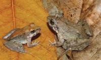 Las especies Top 10 de 2014 08_Limnonectes-larvaepartus_medium