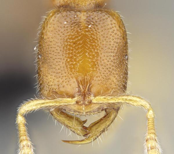 Las hormigas Drácula  150624_hormiga_dracula_imagelarge