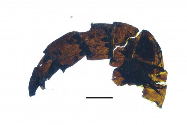 Descubren un escorpión marino gigante 150901_escorpion_gigante_2_image671_405