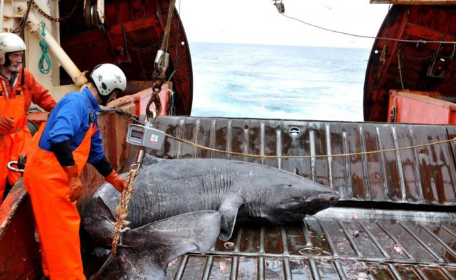 El tiburón de Groenlandia, nuevo récord de longevidad entre los vertebrados 160810_tiburonbarco_JuliusNielsen2_image671_405
