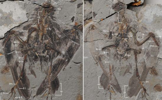 Los antepasados de los pájaros vivieron hace 130 millones de años 51803_3_figure_1090228_nkxpc2_imagelarge