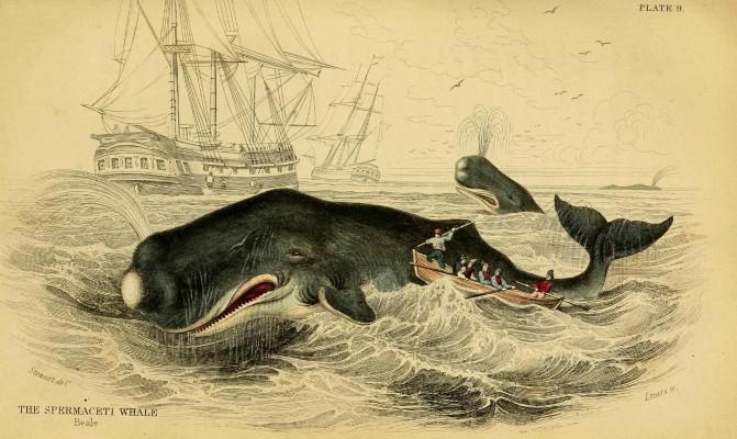 La cabeza de los cachalotes como arma para embestir Could-sperm-whale-heads-sink-ships_-Biodiversity-Heritage-Library_image671_405