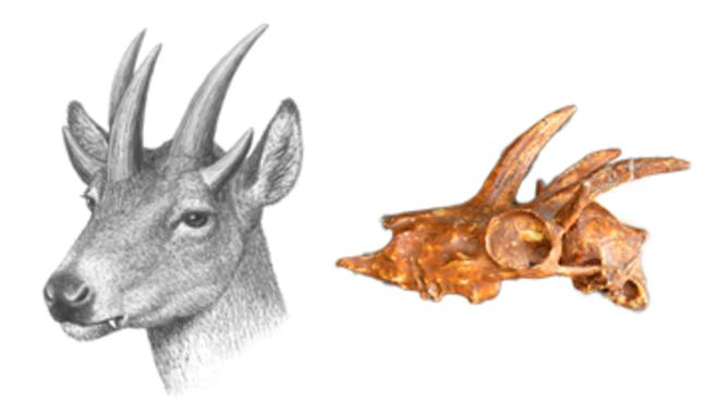 Adaptarse o morir: así es la evolución de los mamíferos en las islas Adaptarse-o-morir-asi-es-la-evolucion-de-los-mamiferos-en-las-islas_image_380