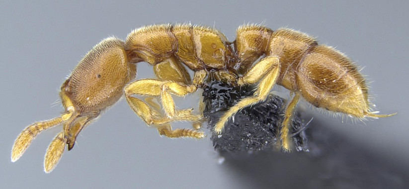 Las hormigas Drácula  Las-hormigas-Dracula-cazan-bajo-tierra-en-Madagascar-y-las-Seychelles_image_380