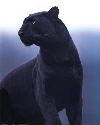 Životinje koje vas fasciniraju Pantere