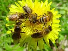 La diversité des abeilles & celle des fleurs sauvages dé - Page 2 Abeilles