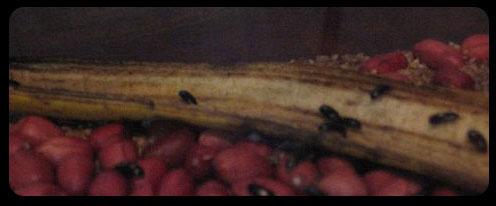 Besouro do Amendoim  Fonteumidade