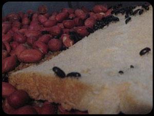 Besouro do Amendoim  Outros