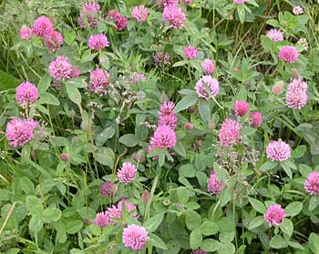 Liste de plantes pour les soins Trifolium_pratense