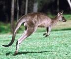 الكنغر :Kangourous  Tn_kangourou1