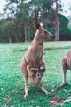 الكنغر :Kangourous  Tnkangourou2