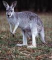 الكنغر :Kangourous  Tnkangourou5