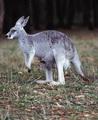 الكنغر :Kangourous  Tnkangourou6