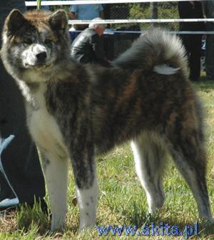 Akita Inu Biki-jelenia-gora-puppy