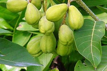 عشبة الإهليلج الأسود Terminalia-chebula-Haritaki