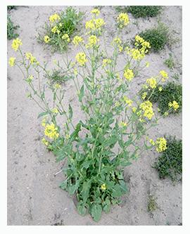الخردل الأسود Wild-mustard-plant
