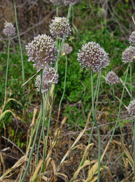 Allium ampeloprasum Allium_ampeloprasum_plant