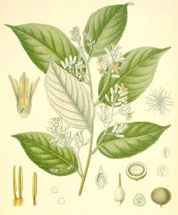 Glosario y propiedades mágicas de las plantas P_balsamo%20benjui
