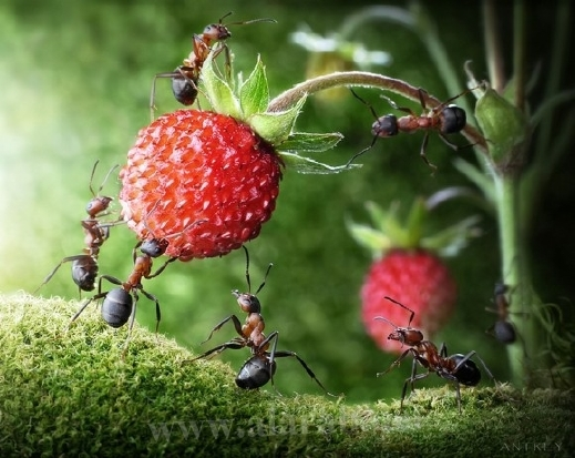 30 صورة مذهلة لعالم النمل من إبداع المصور أندريه بافلوف 20120405112328alarab_040412_231