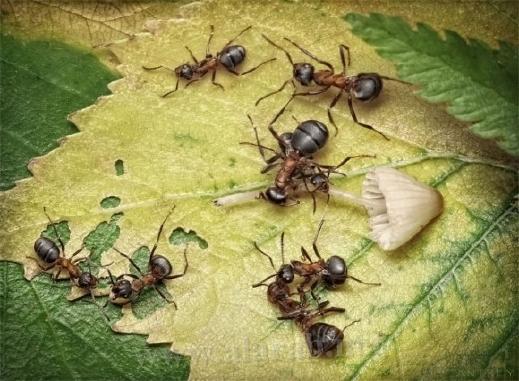 30 صورة مذهلة لعالم النمل من إبداع المصور أندريه بافلوف 20120405112329alarab_040412_248