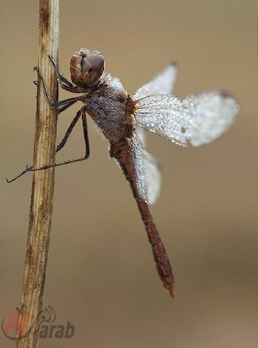 أروع الصور: قطرات الندى تحول قبح الحشرات الى جمال رباني بعدسات افضل المصورين 20120630225225img_497