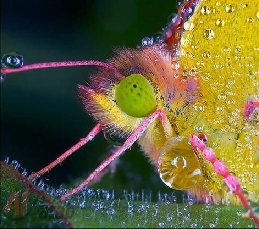 أروع الصور: قطرات الندى تحول قبح الحشرات الى جمال رباني بعدسات افضل المصورين 20120630225225img_506