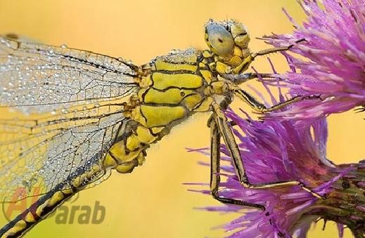 أروع الصور: قطرات الندى تحول قبح الحشرات الى جمال رباني بعدسات افضل المصورين 20120630225226img_500