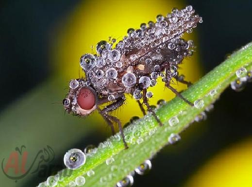 أروع الصور: قطرات الندى تحول قبح الحشرات الى جمال رباني بعدسات افضل المصورين 20120630225226img_512