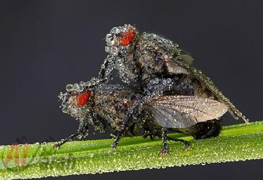 أروع الصور: قطرات الندى تحول قبح الحشرات الى جمال رباني بعدسات افضل المصورين 20120630225226img_516