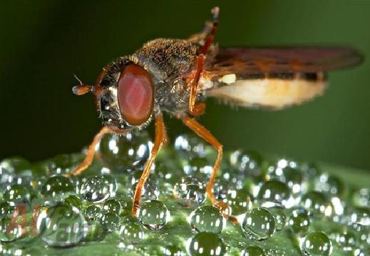 أروع الصور: قطرات الندى تحول قبح الحشرات الى جمال رباني بعدسات افضل المصورين 20120630225226img_520