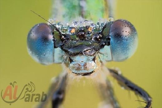 أروع الصور: قطرات الندى تحول قبح الحشرات الى جمال رباني بعدسات افضل المصورين 20120630225227img_503