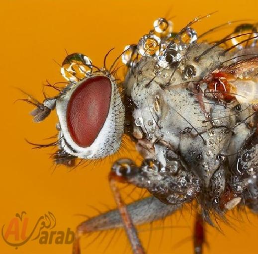 أروع الصور: قطرات الندى تحول قبح الحشرات الى جمال رباني بعدسات افضل المصورين 20120630225227img_510